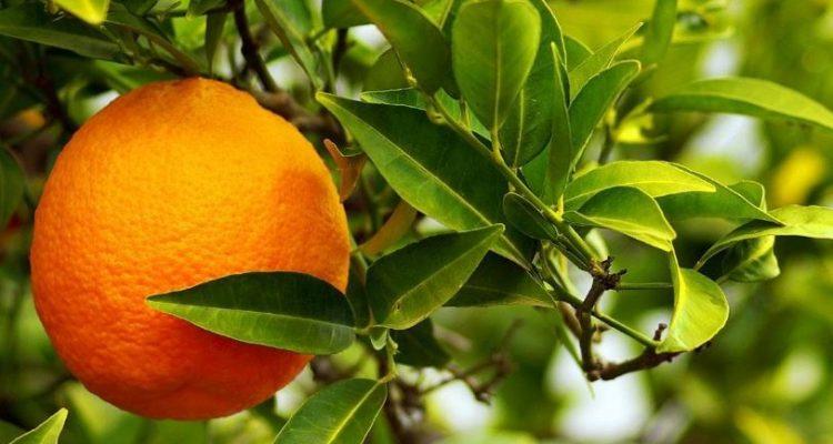 citrus arantium